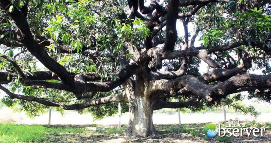Dussehri Tree